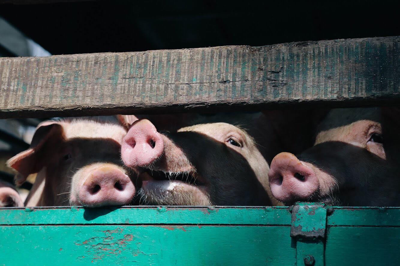 冥想-動物權益-屠房